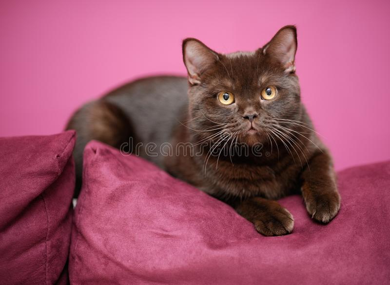 Download Cat laying on the pillow stock photo. Image of british - 24358948