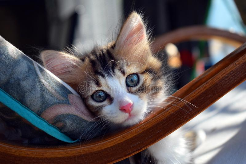 Cat leaning against a rocking chair cushion royalty free stock images