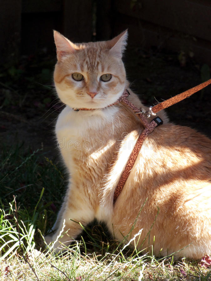 Download Cat on Leash stock photo. Image of domestic, orange, hunter - 20923922