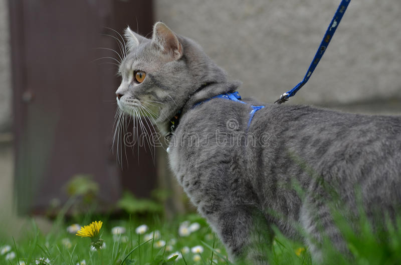 Cat on a leash. Cat leash beatiful grass flower royalty free stock photos