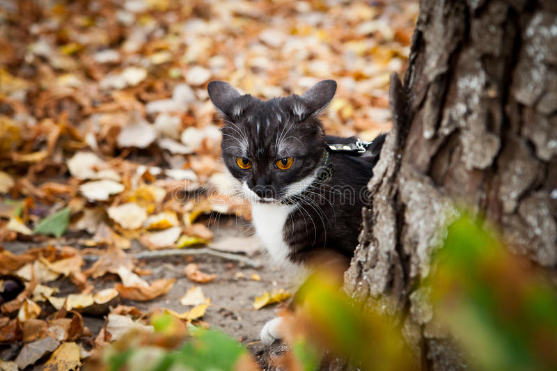 Download A Cat On A Leash Playing In Fall Dry Leaves Stock Image - Image: 27414443