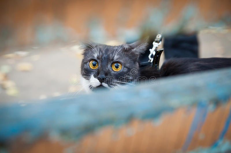 Download A Cat On A Leash Playing On The Wooden Bench Stock Photo - Image: 27414466