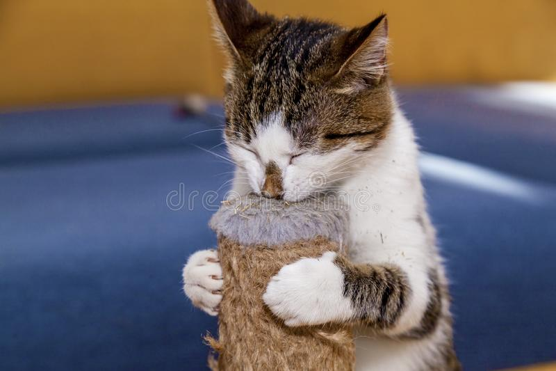 Cat licks catnip Nepeta Catar. Sweets for pets cats stock image