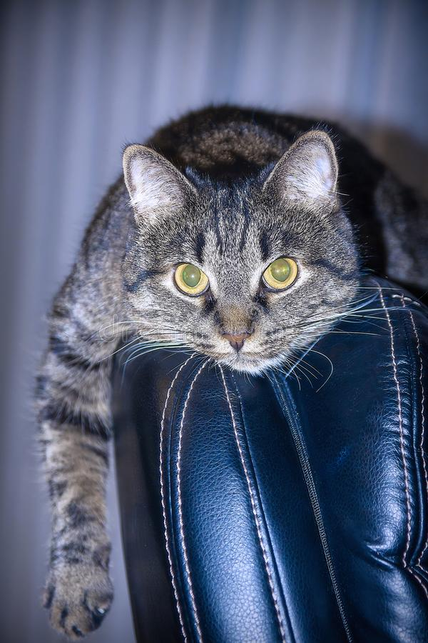 The cat lies on the back of the chair and looks into the lens royalty free stock photo