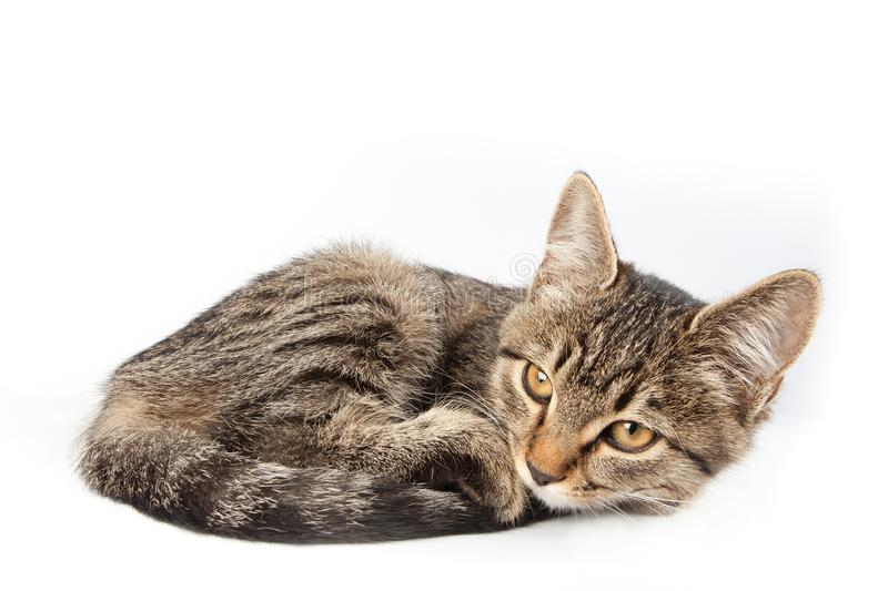 Cat lies crouching. Cat lying crouching in a tangle isolated on white background stock photo