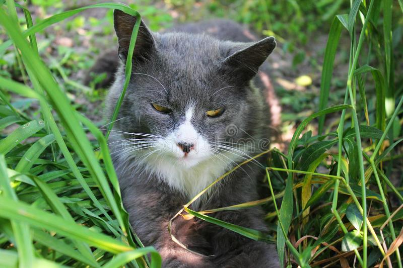 The cat lies in the grass. Animal royalty free stock photos