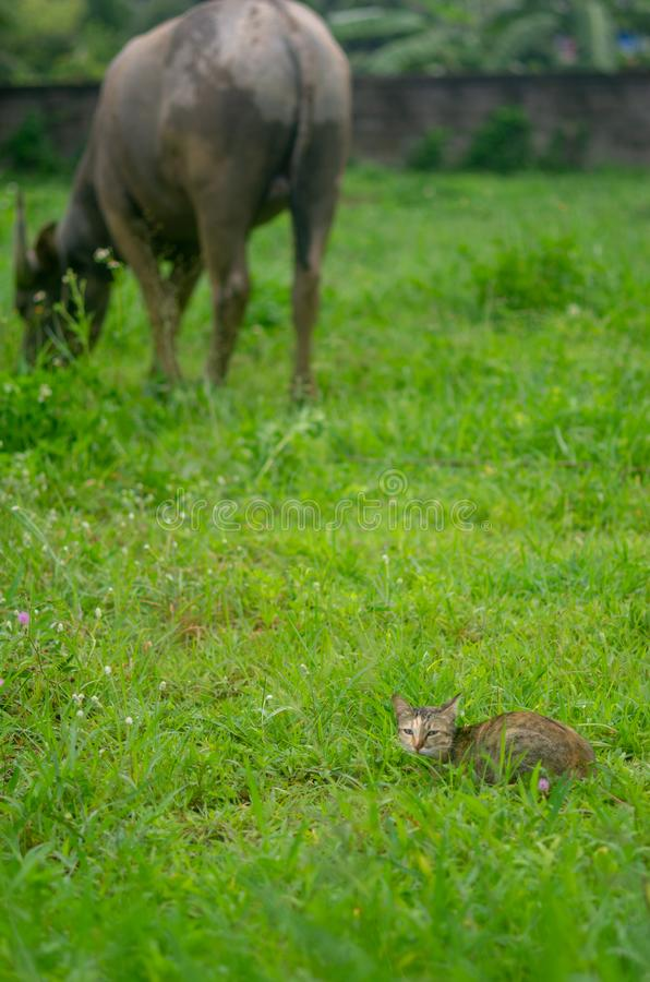 Cat lies on the meadow in the background a grass eating water buffalo focus on the cat. Animal, beautiful, beauty, black, cute, garden, green, color, kitty royalty free stock image
