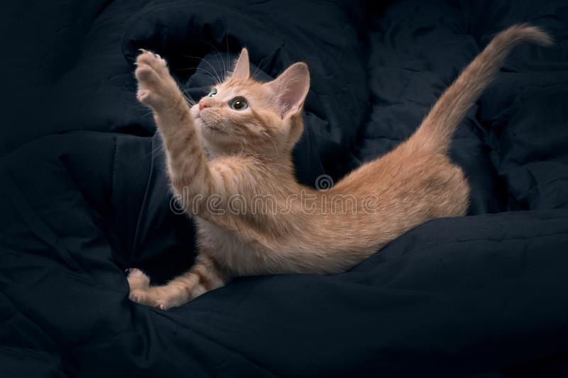 The cat lies and pulls its paw up. Red kitten plays on a dark background. Color Orange Tabby Secondary Color.  royalty free stock photography
