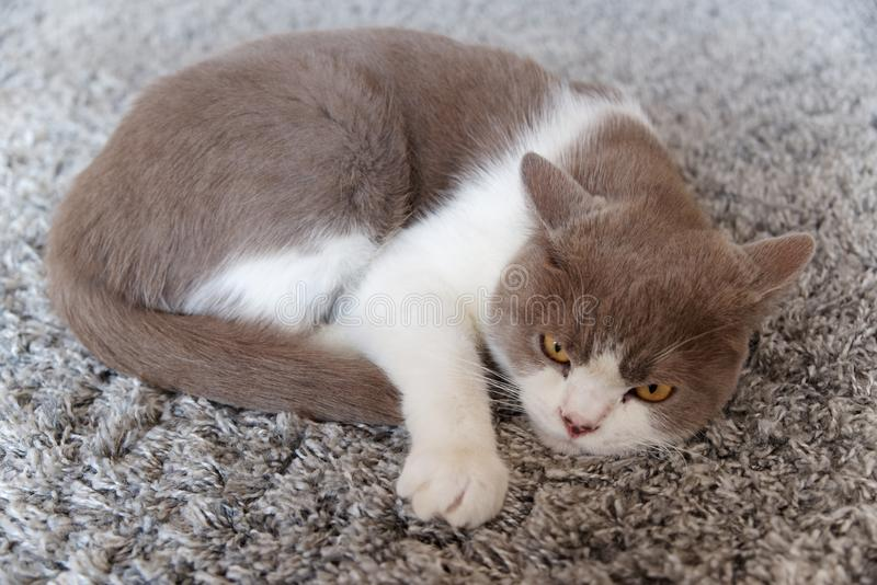 Cat lies relaxed on a carpet and looks towards camera royalty free stock photo
