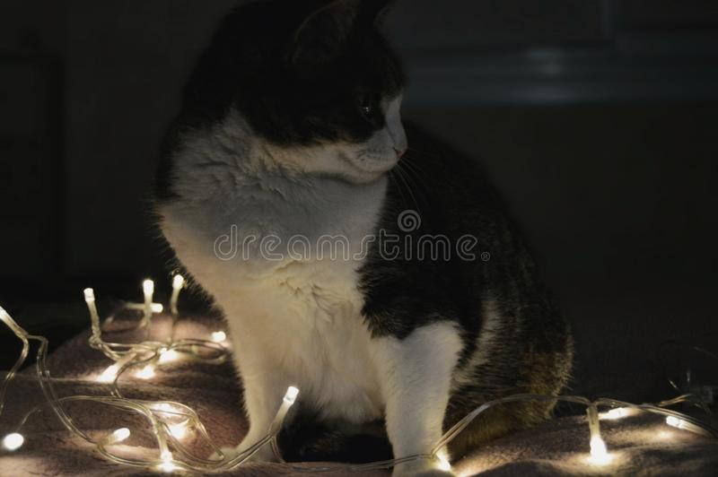 Cat in the lights royalty free stock images