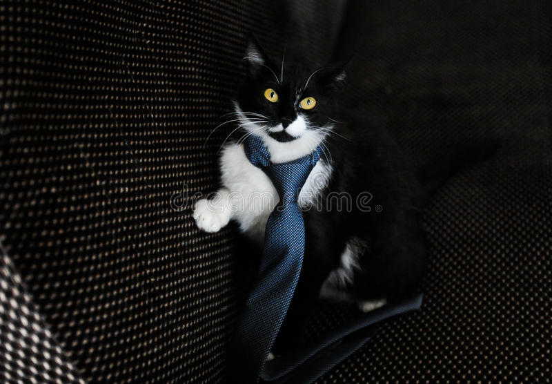 Download Cat in a limousine stock photo. Image of baby, cute, feline - 39512748