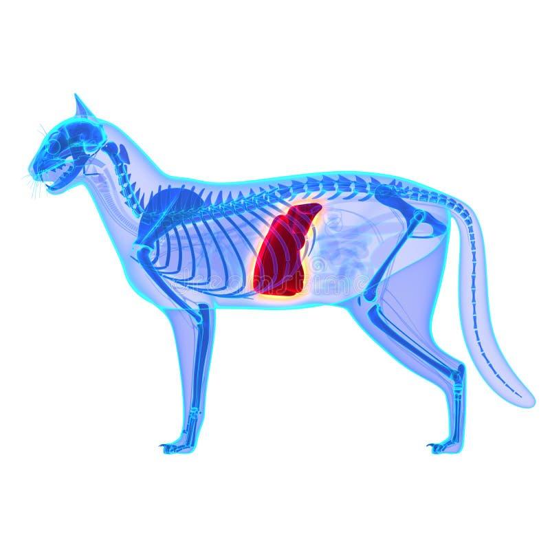 Cat Liver - Felis Catus Anatomy - isolated on white royalty free stock image