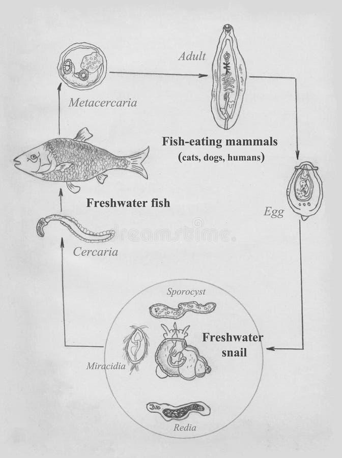 cat liver fluke opisthorchis felineus life cycle hand drawing