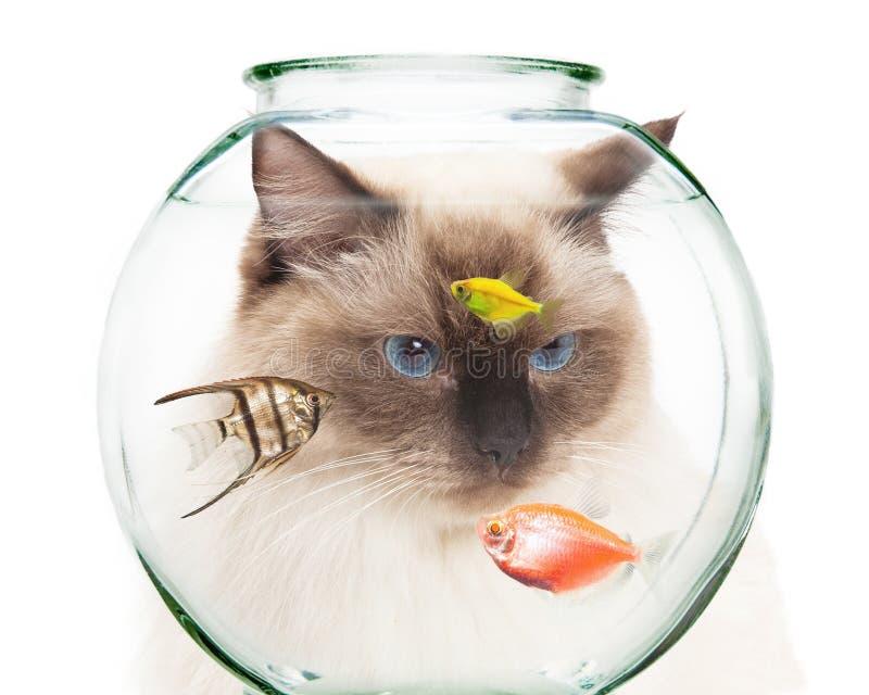 Cat Looking Into Bowl van Huisdierenvissen royalty-vrije stock afbeeldingen