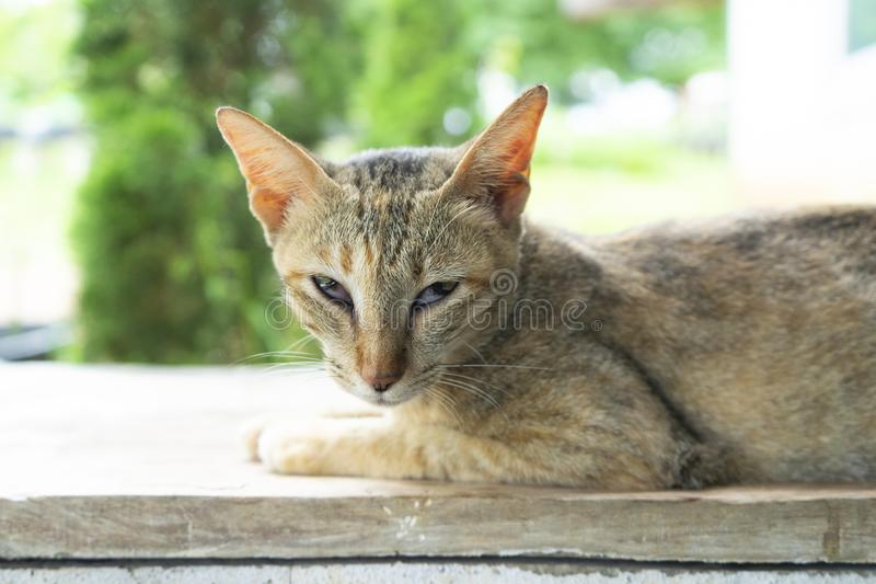 A cat looking at camera. A cat looking at camera ,Gray adult mongrel cat lies on the floor stretching the front paws, selective focus stock photo