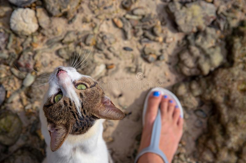 Cat looking into camera with woman`s foot. Stray cat rubs on legs top view photo. Cute white brown kitten with green eye stock photo