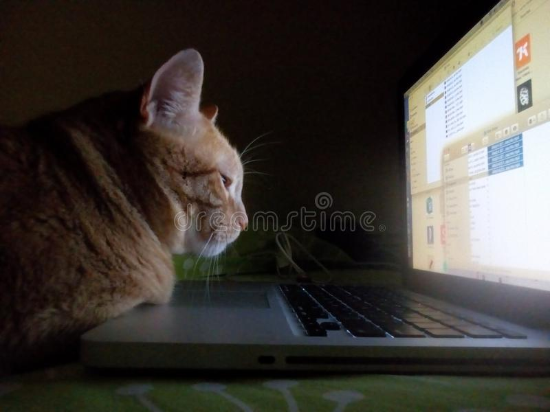 Cat and computer. Cat looking at computer laptop screen royalty free stock photography