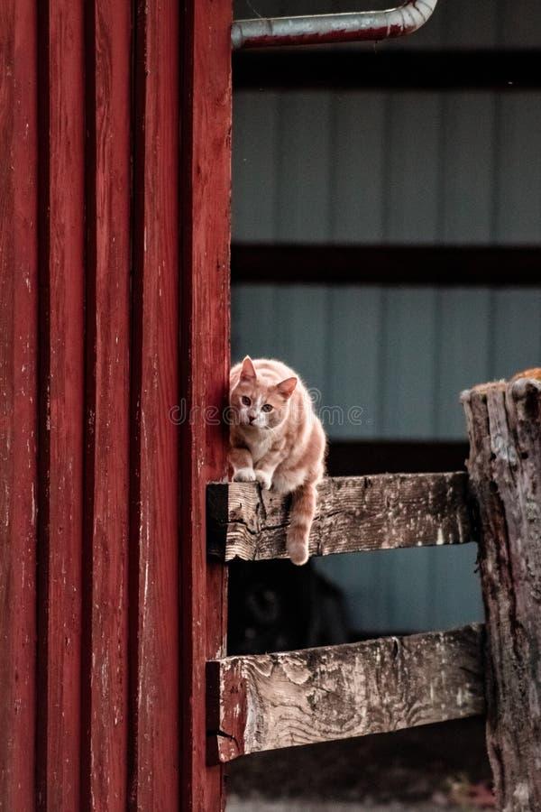 Cat Looking en el ratón en la cerca del corral fotografía de archivo libre de regalías