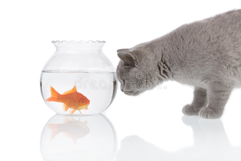 Cat looking at a goldfish 3 royalty free stock photos