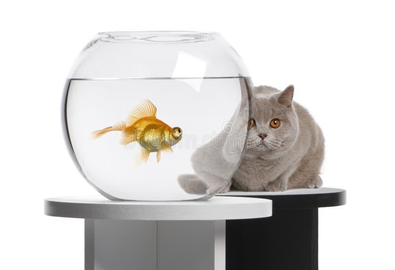 Cat looking at a goldfish royalty free stock photos