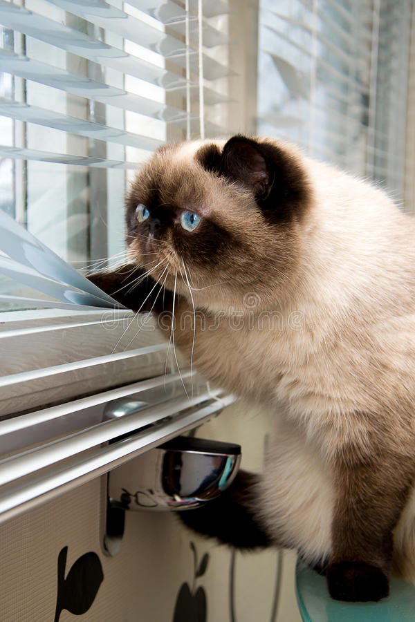 Cat looking outside through window blinds royalty free stock photography