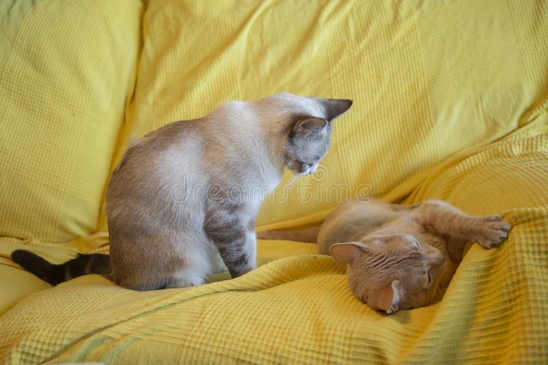 Cat looking patiently at another and waiting for him to wake up to play royalty free stock photography
