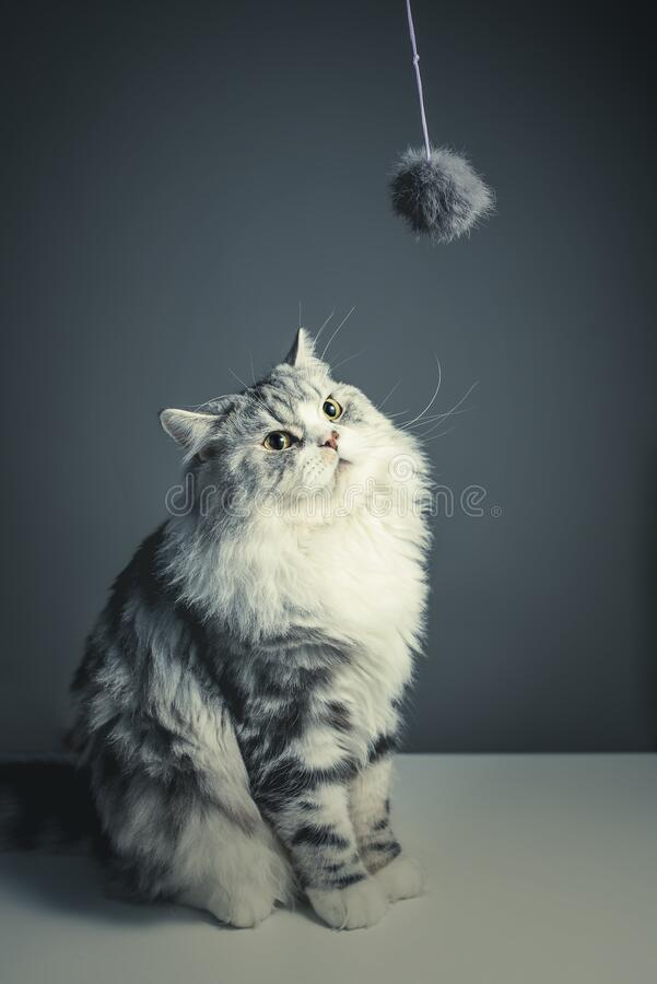 Cat looking at string toy royalty free stock photo