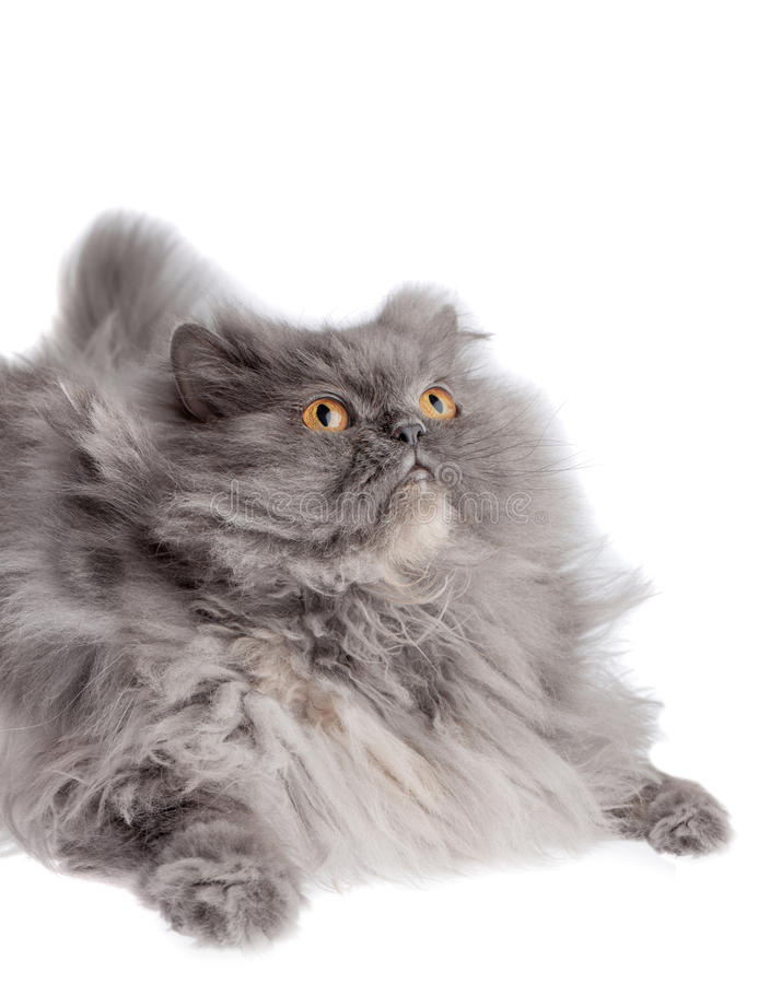 Download Cat Looking Up stock image. Image of persian, portrait - 28137741