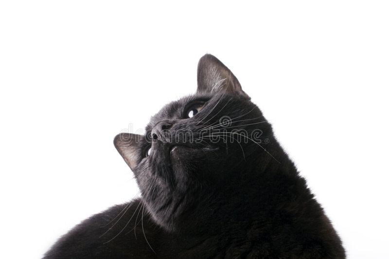 Download Cat looking up stock photo. Image of animal, watches, watching - 3755694