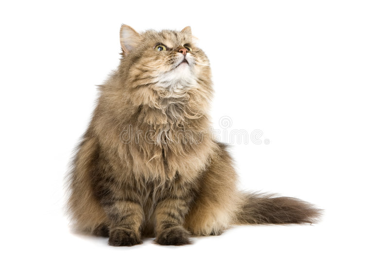 Download Cat looking up stock image. Image of isolated, look, pretty - 8328967
