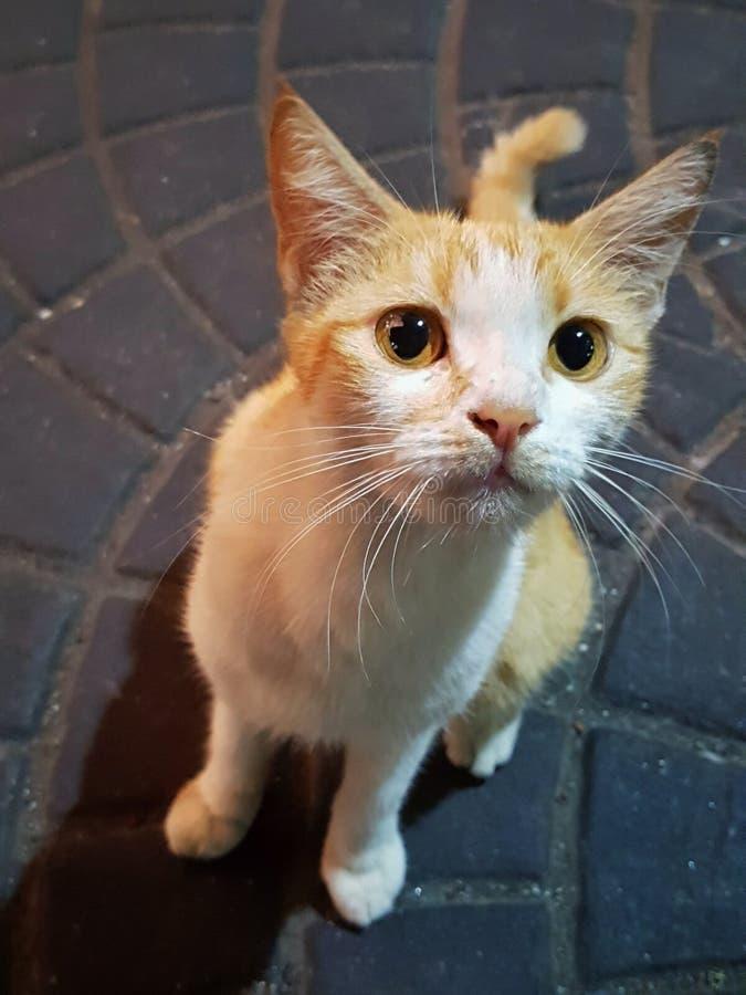 Download Cat looking up stock image. Image of resting, eyes, orange - 94106415