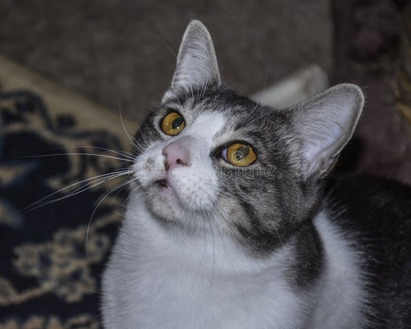 Cat Looking Up grigia e bianca con amore un ritratto fotografie stock