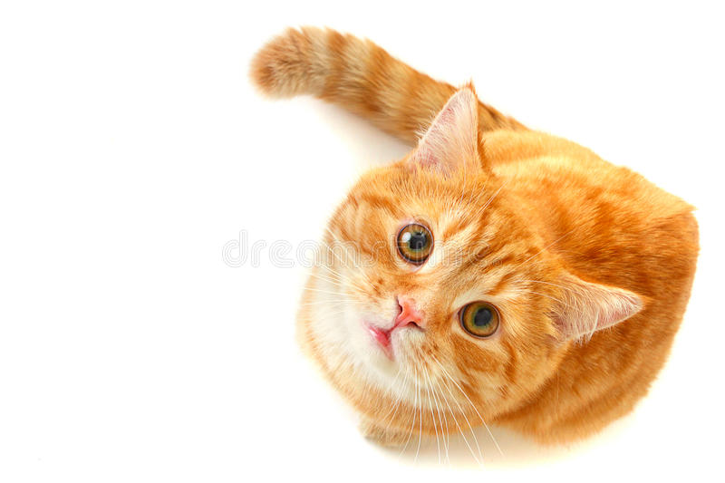 Cat Looking Up - Isolated On White Stock Photography