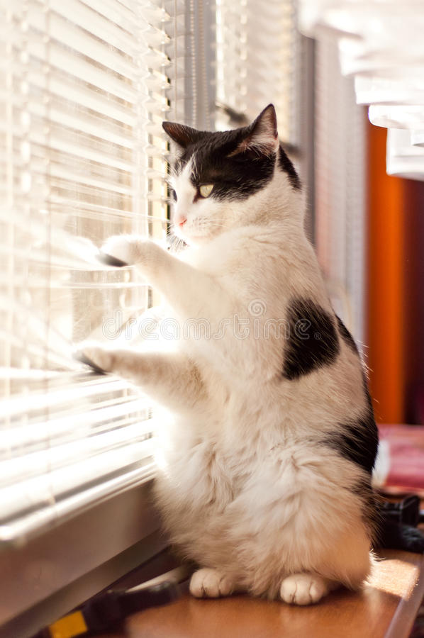 Cat looking at the window stock images