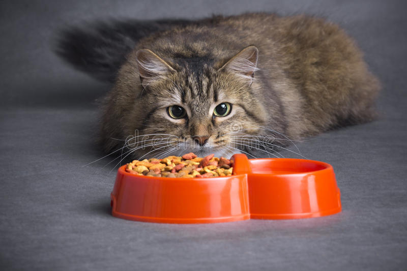 Cat looks at a bowl of feed. Funny cat looks at a bowl of dry food as on a hunting target on a gray background stock images