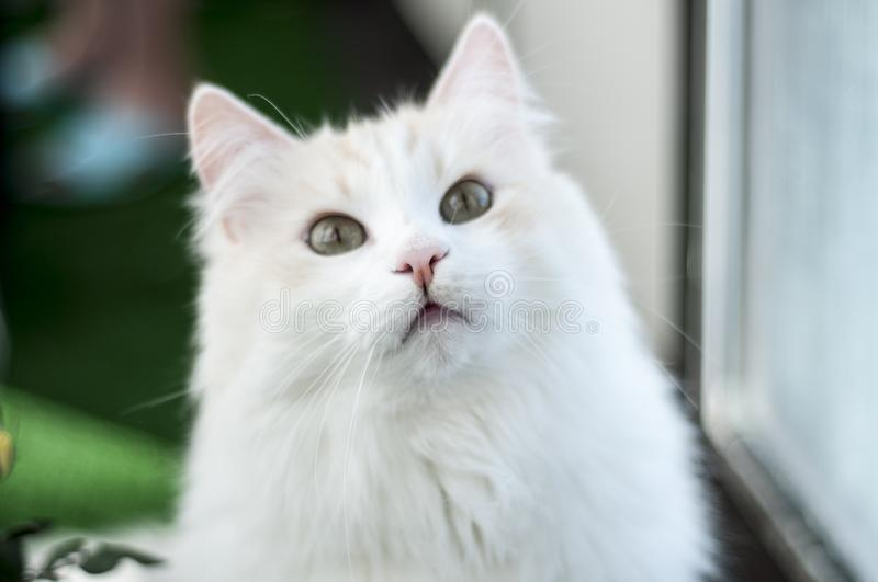 Cat looks closely at the camera lens. Gaze. Stare. Fanny pets. Domestic pets royalty free stock photography