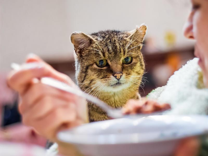 Cat looks closely at the plate with food, woman dines, cat begs stock photos