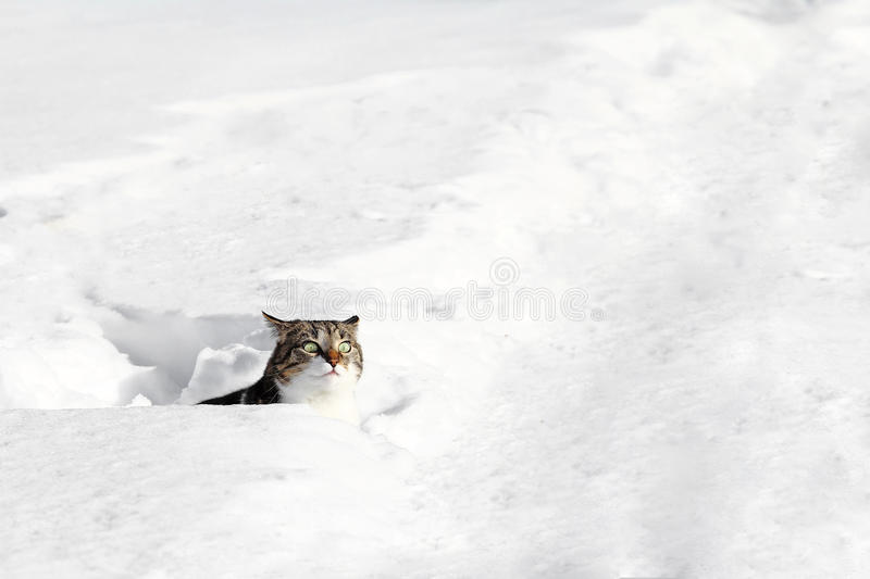 A cat looks curiously out of the snow royalty free stock photos