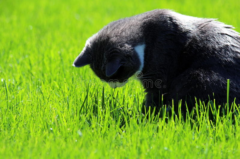 Download Cat Looks At The Ground In The Grass Stock Image - Image: 41100401