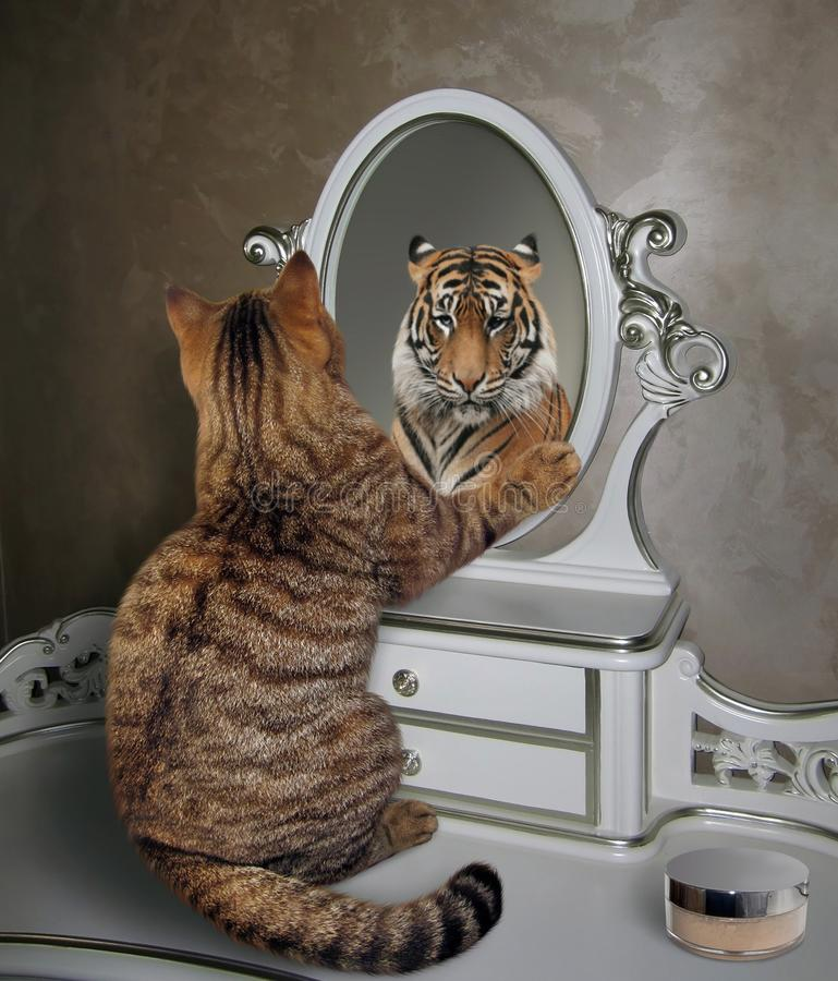 Cat looks in mirror 3. The cat looks at his reflection in the mirror. It sees a tiger there stock photos