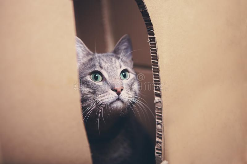 Cat looks out the slit cardboard box royalty free stock photo