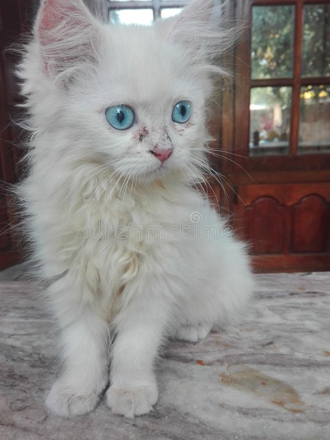 Cute white baby cat with blue eyes royalty free stock photography