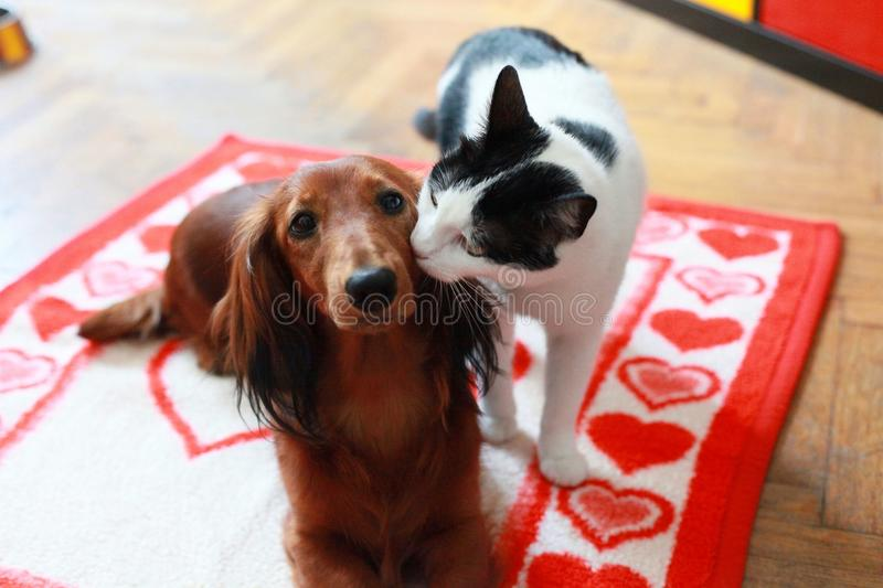 Cat loves dog. Cat loves and kisses the dog for his birthday stock photography