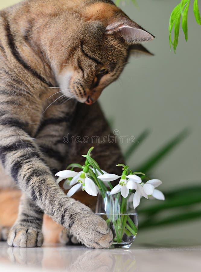 Cat loves snowdrops stock photos