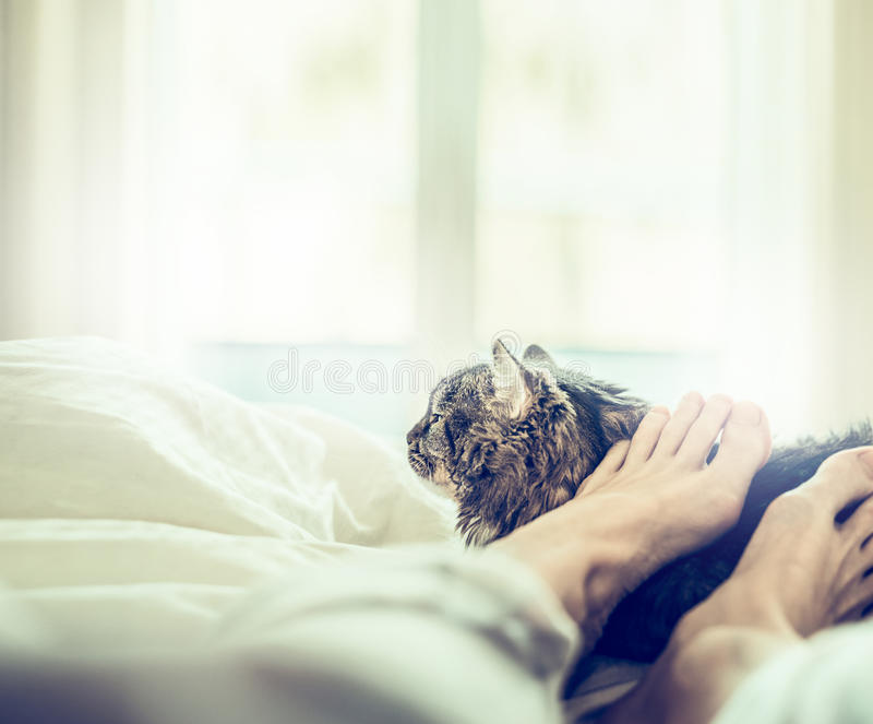 The cat is lying in bed at the feet of her owner over window background. Home scene with cat royalty free stock image