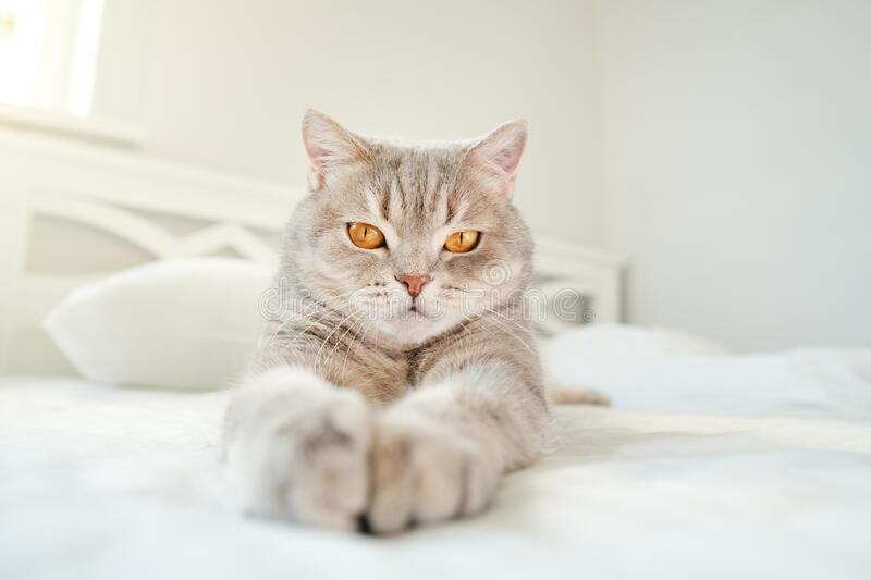 Cat lying on the bed stock photography