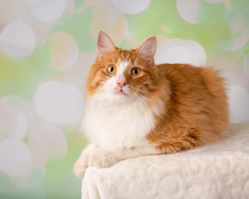 Cat Lying Down alaranjada e branca foto de stock