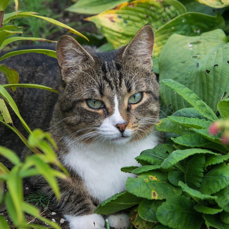 Cat lying in the grass. Observant, charming cat lying in the grass in the garden royalty free stock images