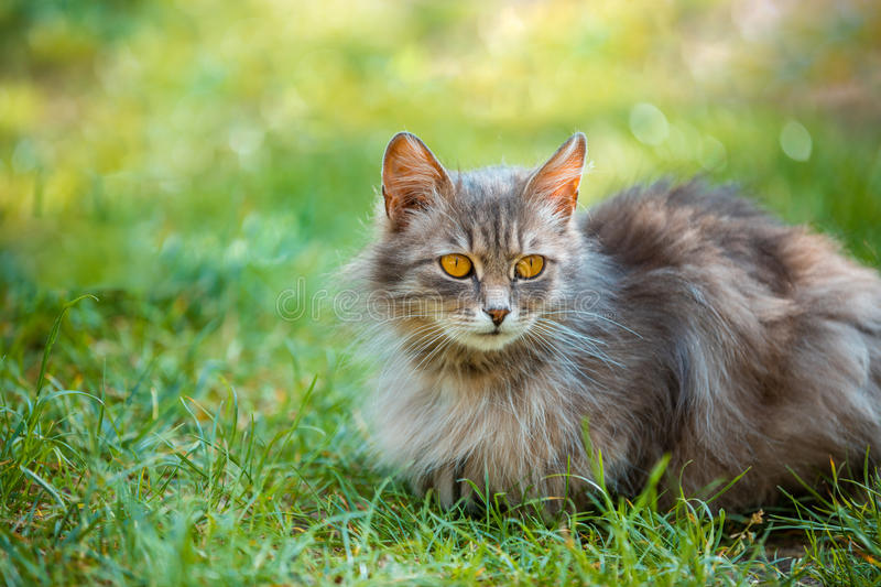 Cat lying on the grass. Siberian cat relaxing outdoor on the grass stock photos