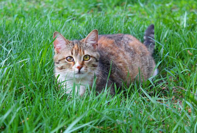 The cat is lying on the lawn royalty free stock images